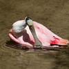 Roseated Spoonbill SS1946