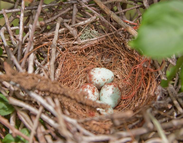 Mockingbird Nest with Eggs