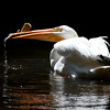White Pelican SS1707
