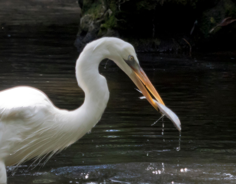 Great White Egret SS1724