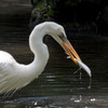 Great White Egret SS1724