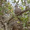 Eurasia Dove