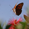 Gulf Frittary Butterfly