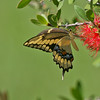 Giant Yellow Swallowtail