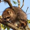 Raccoon SS6922