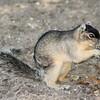 Fox Squirrel 58855