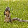 FoxSquirrel_SS6096