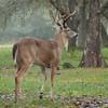 Whitetailed Buck Deer