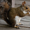 GreySquirrel_SS4398