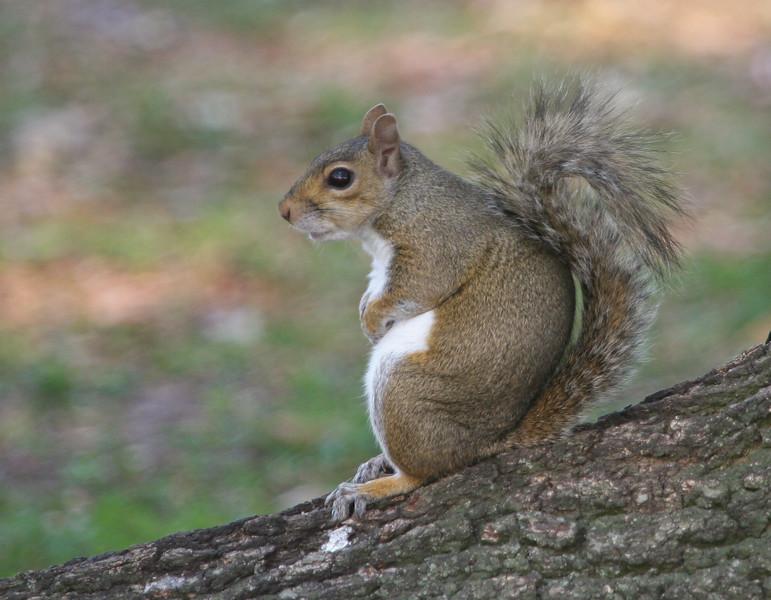GraySquirrel_SS0082