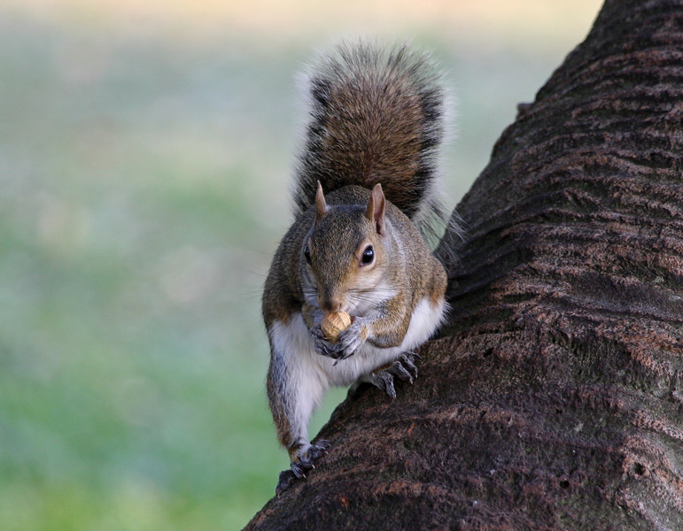 EasternGraySquirrel_SS0086