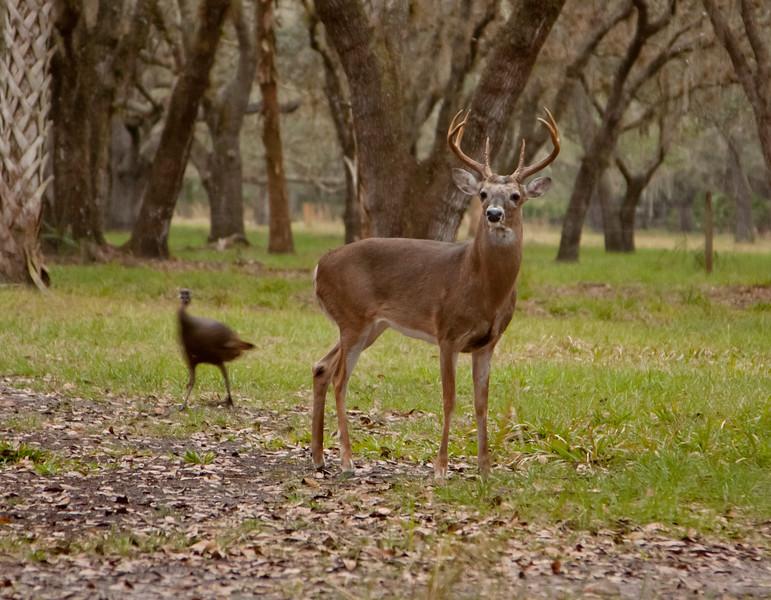 Whitetailed Buck
