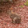 Cottontail Rabbit 87360