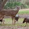 Whitetailed Doe Deer with Osceloa Turkeys