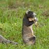 FoxSquirrel_SS6544