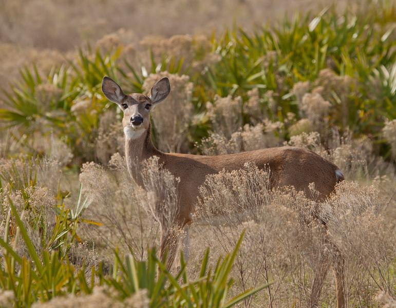 Whitetailed Doe Deer