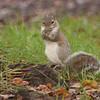 GraySquirrel_SS9443