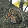 GraySquirrel_SS2750
