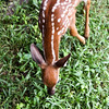 Whitetailed Deer Fawn