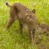 Bobcat_SS3904