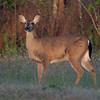 Whitetailed Deer Doe