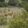 Whitetailed Deer (Bucks)