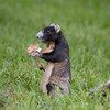 FoxSquirrel_SS6512