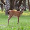 Whitetailed Buck in velvet