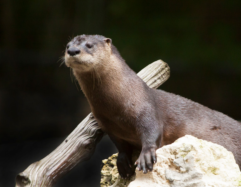 River Otter SS3918