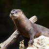 River Otter SS3918