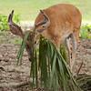 Whitetailed Buck Deer in Velvet
