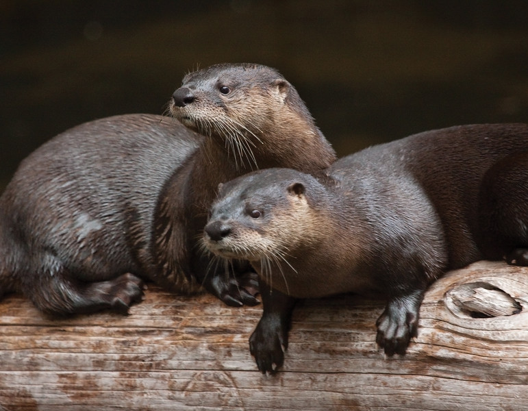 RiverOtters_SS3737