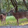 Whitetailed Bucks on velvet