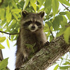 Raccoon_SS7553
