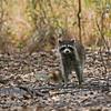 Raccoon_SS2104