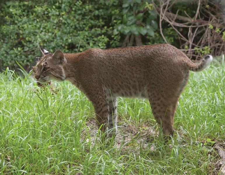 Bobcat_SS3890