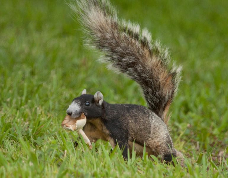 FoxSquirrel_SS6505