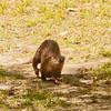 River Otter SS0937