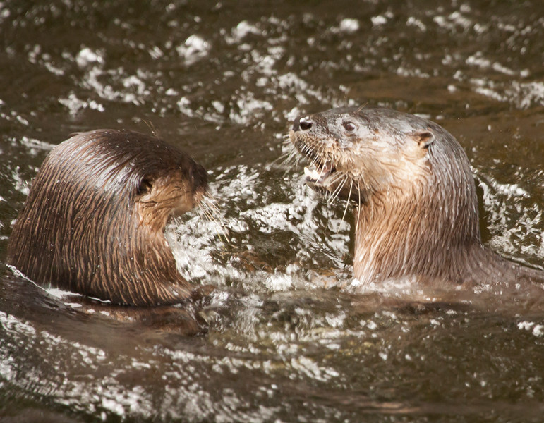 River Otters SS3699