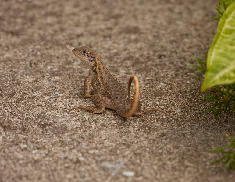 Carinate Curly-tailed Lizard