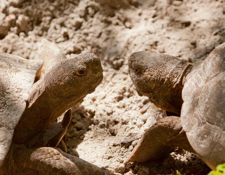 Gopher Tortoises