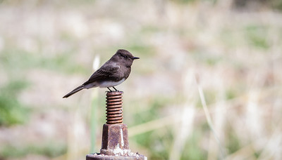 Black Phoebe Page Springs Fish Hatchery Cornville, Arizona 3-24-13