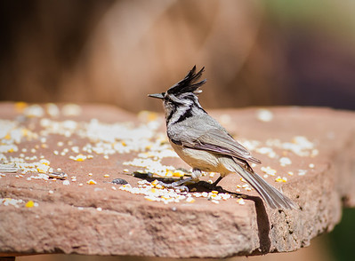 Bridled Titmouse Red Rock State Park Sedona, Arizona  3-29-13