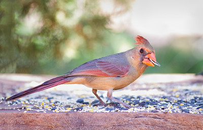 Northern Cardinal, adult female Red Rock State Park Sedona, Arizona  3-29-13
