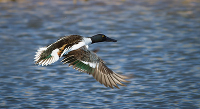 Male Breeding Northern Shoveler in flight Sedona Wetlands March 29, 2013