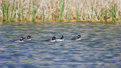 Bufflehead family Sedona Wetlands March 24, 2013