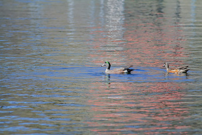 American Wigeon pair Page Springs Fish Hatchery Cornville, Arizona 3-24-13