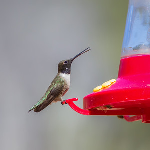 Black-chinned Hummingbird, with open bill at sugar-water feeder Red Rock State Park Sedona, Arizona  3-29-13