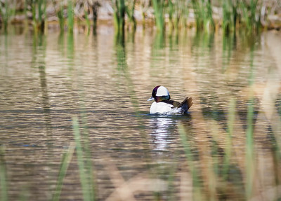 Male Bufflehead Sedona Wetlands March 29, 2013