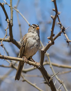 White-crowned Sparrow, western taiga Red Rock State Park Sedona, Arizona  3-29-13